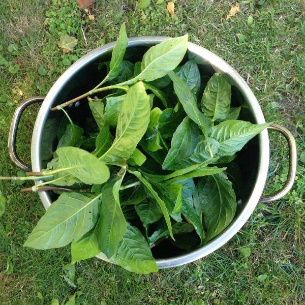 how to grow a dye garden